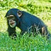 Running Chimp Poster