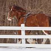 Running Clydesdale Poster