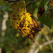 Rusty Leaf Poster