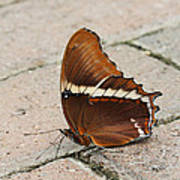 Rusty Tipped Page Butterfly Poster