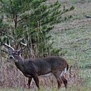 Rutting Buck Poster