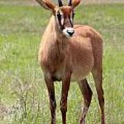 Sable Antelope Calf Poster