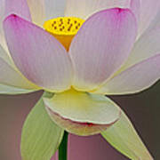 Sacred Lotus Blossom Poster