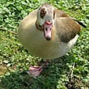 Sad Goose Poster