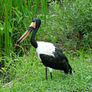 Saddle Billed Stork-136 Poster