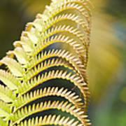 Sadleria Cyatheoides Amau Fern Maui Hawaii Poster
