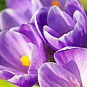 Saffron Flowers. Poster