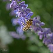 Sage Bee Poster