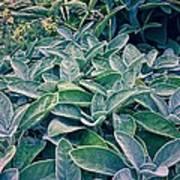 Sage In The Garden Poster