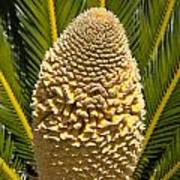 Sago Palm Seed Pod Poster
