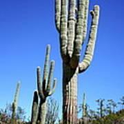 Saguaro At The Saguaro National Park Poster