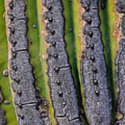 Saguaro Cactus Close-up Poster