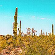 Saguaro Cactus In Organ Pipe Monument Poster