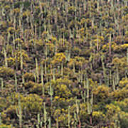 Saguaro Forest At The Foot Of Four Peaks Poster
