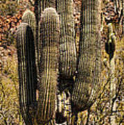 Saguaro Of Many Arms Poster