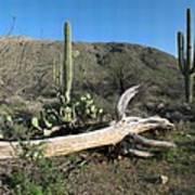 Saguaro Skeleton Saguaro National Park Az  Poster
