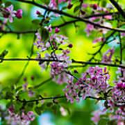 Sakura Tree In Bloom - Featured 3 Poster