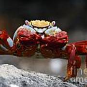 Sally Lightfoot Crab Galapagos Poster