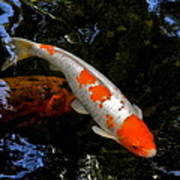 Salmon And White Koi Poster