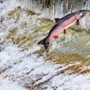 Salmon Jumping Issaquah Hatchery Poster