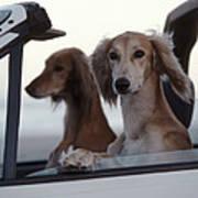 Saluki Dogs In Car Poster