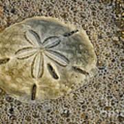 Sand Dollar 3 Botany Bay Poster
