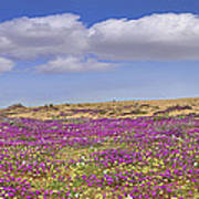 Sand Verbena On The Imperial Sand Dunes Poster
