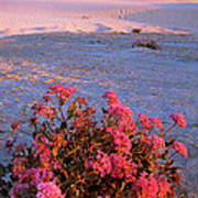 Sand Verbenas At Sunset White Sands National Monument Poster