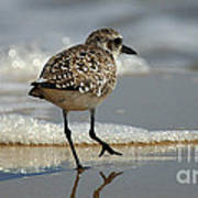 Sanderling Gulf Of Mexico Poster
