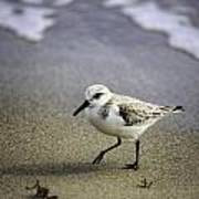 Sanderling On The Shore Poster