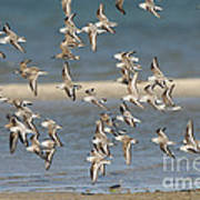 Sanderlings And Dunlins In Flight Poster