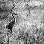 Sandhill Chick In The Marsh - Black And White Poster