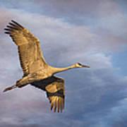 Sandhill Crane In Flight Poster