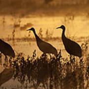 Sandhill Crane Trio At Sunrise Bosque Poster