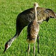 Sandhill Crane With Chick II Poster
