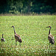 Sandhill Cranes And Friends Poster