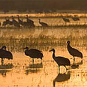 Sandhill Cranes Bosque Del Apache Nwr Poster