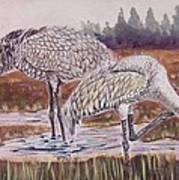 Sandhill Cranes Feeding Poster