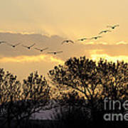 Sandhill Cranes Flying At Sunset Poster
