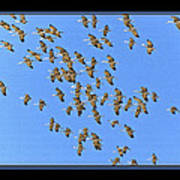 Sandhill Cranes In Mass Poster