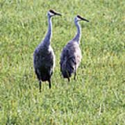 Sandhill Cranes In Wisconsin Poster