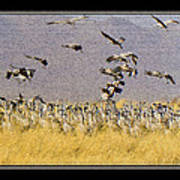 Sandhill Cranes On The Ground Poster