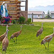 Sandhill Cranes On The Lawn By The Statue Of Mary In Homer-alaska Poster