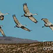 Sandhill Cranes Over Chupadera Mountains Poster