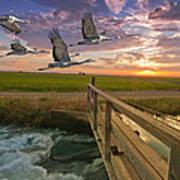 Sandhill Cranes Over Rice Fields Poster