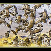 Sandhill Cranes Startled Poster