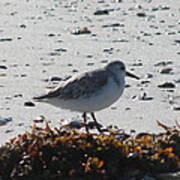 Sandpiper And Seaweed Poster
