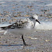 Sandpiper And Shells Poster