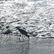 Sandpiper Finds Food In Surf Poster