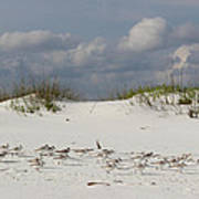 Sandpipers On Dune Poster